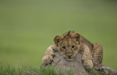 สิงโต-4
